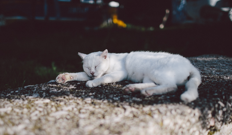 croatia travel photography lopud island adriatic coast summer white cat