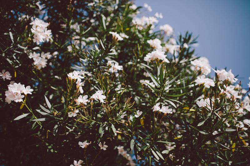 croatia travel photography lopud island adriatic coast white oleander